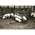 Hoyaer Landschweine
