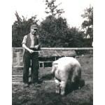 Das Hoyaer Landschwein